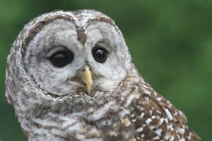 Athena, the barred owl, beloved Wildlife Shelter education ambassador.