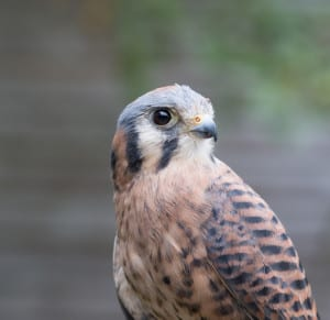 """Pele,"" an American Kestrel, which are the smallest falcons in Washington State."