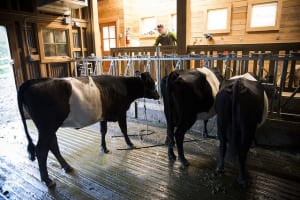 The dutch-belted cows inside the livestock building at Heyday Farm
