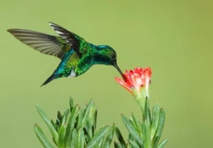 Hummingbirds, which can be found on Bainbridge, are examples of pollinators.