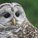 <i>Podcast: Bainbridge Outdoors:</i> <br>Owls, raptors, opossums and more at West Sound Wildlife Shelter
